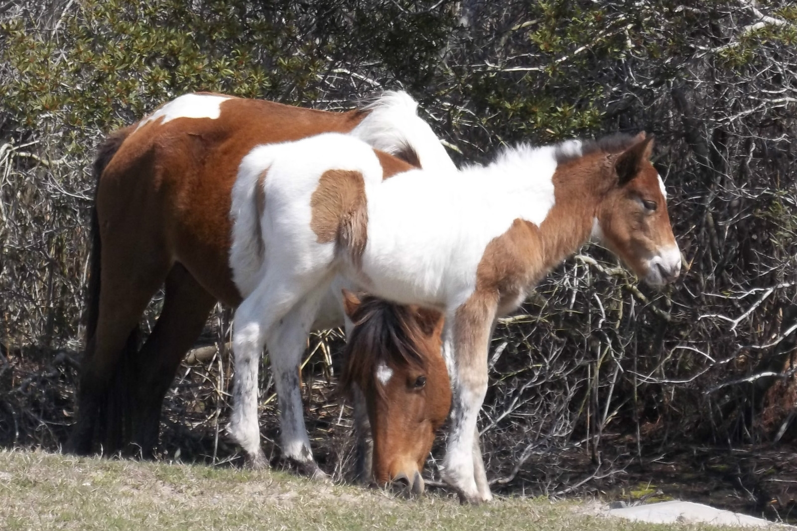 Assateague2