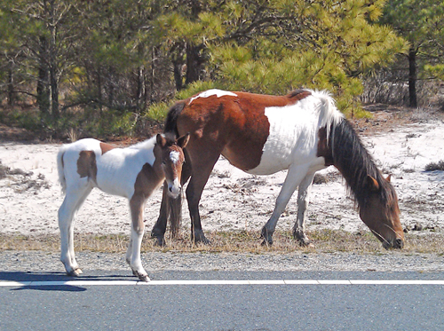 Assateague4