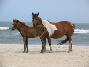 Assateague6