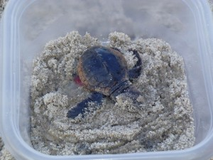 Viable Sea Turtle Nest Discovered