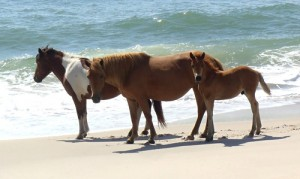 Assateague Welcomes New Foal, Expects Another Soon
