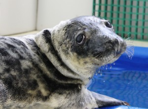 Juvenile Seal Returns To Ocean After Completing Rehab