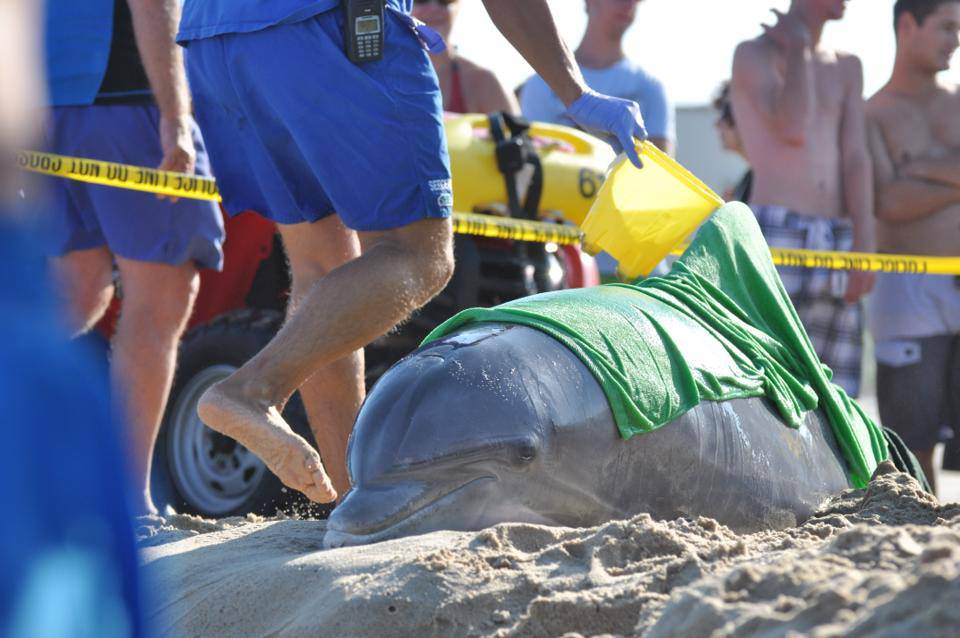 A sick dolphin beached itself in north Ocean City yesterday afternoon and was taken to the National Aquarium in Baltimore for further evaluation. Photo by Mark Huey Photography