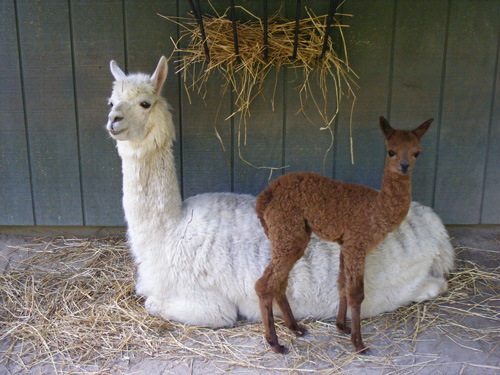 One of the new arrivals to the Salisbury Zoo's alpaca herd is pictured last week with its mother. Submitted Photo