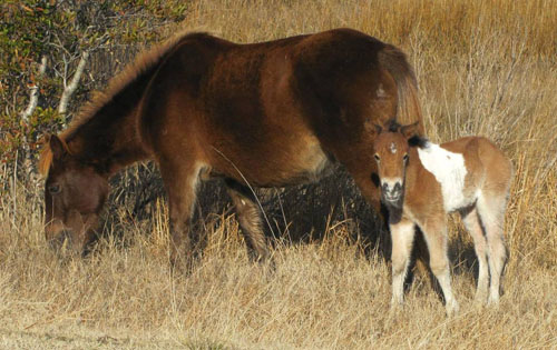 The second foal born on Assateague Island this year is pictured next to her mother, who is known as Gokey Go Bones. Photo by Assateague Island National Seashore