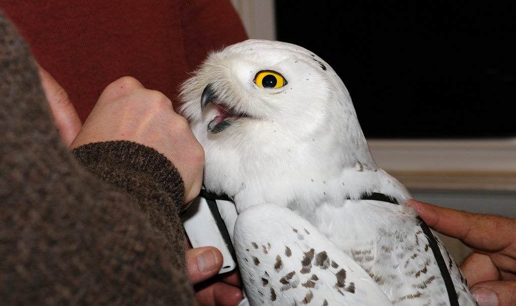 Scientists were able to attach a tracking device to this Snowy Owl after it was captured temporarily on Assateague Island this month. Photos by Allen Sklar