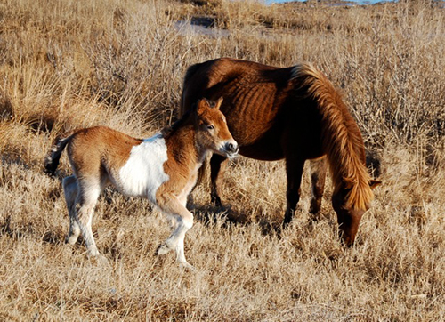 Although the mare appears emaciated in this picture, Assateague Island National Seashore officials reported this week the dam and its foal both appear to be healthy. Photo by Lynne Lockhart