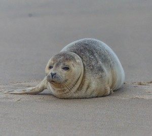 Seals Beginning To Show Up On Ocean City Beaches