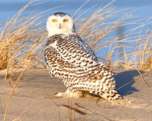 A snowy owl is pictured at the Delaware Seashore State Park. Photo by Sharon Lynn