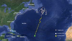 This graphic documents the track of the juvenile shark tagged last summer off Ocean City. Submitted Photo