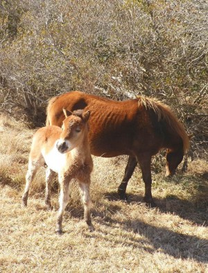 The newest foal on Assateague Island is pictured alongside its mother earlier this winter. Photo by Barbara Gallagher