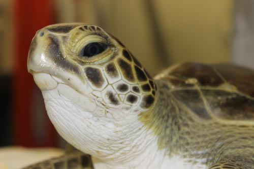 A juvenile green sea turtle, named Chipper by the National Aquarium, will soon be released four months after being found cold stunned in Ocean City. Submitted Photo