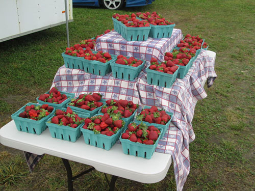 The results of a recent trip through the strawberry patch at Magee Farms off Route 589 are pictured. Photo by Travis Brown