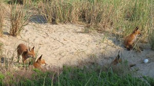 A skulk of at least four foxes is pictured in a dune in north Ocean City over Memorial Day weekend. Photo by Bob McKinley