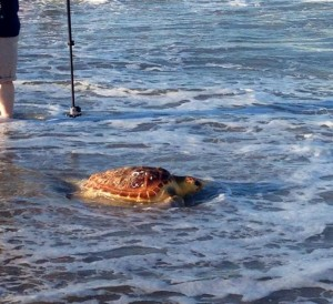 Four Loggerhead Turtles Released From Assateague After Rehab Stint