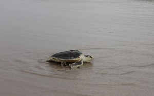 A Kemp's Ridley sea turtle, discovered cold stunned in New Jersey last November, is pictured after being released on Assateague Island last weekend. Submitted Photo