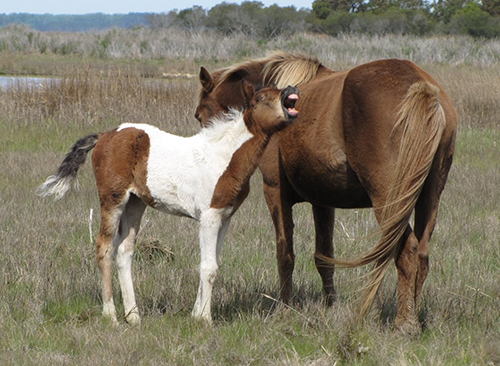 Assateague's newest foal and its mare are pictured this fall. Photo courtesy of Assateague Island Alliance