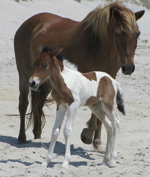 "A Delaware resident has chosen ""Susi Sole"" as the name of the foal born on Assateague Island earlier this year after last week's online auction concluded. Submitted Photo"