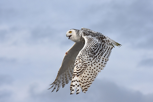 A snowy owl is pictured moments after being released from Assateague State Park last Thursday. Photo by Allen Sklar