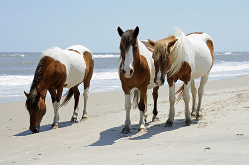 Wild horses are pictured strolling on the beach at Assateague Island State Park. Photo by Jennifer Dodge