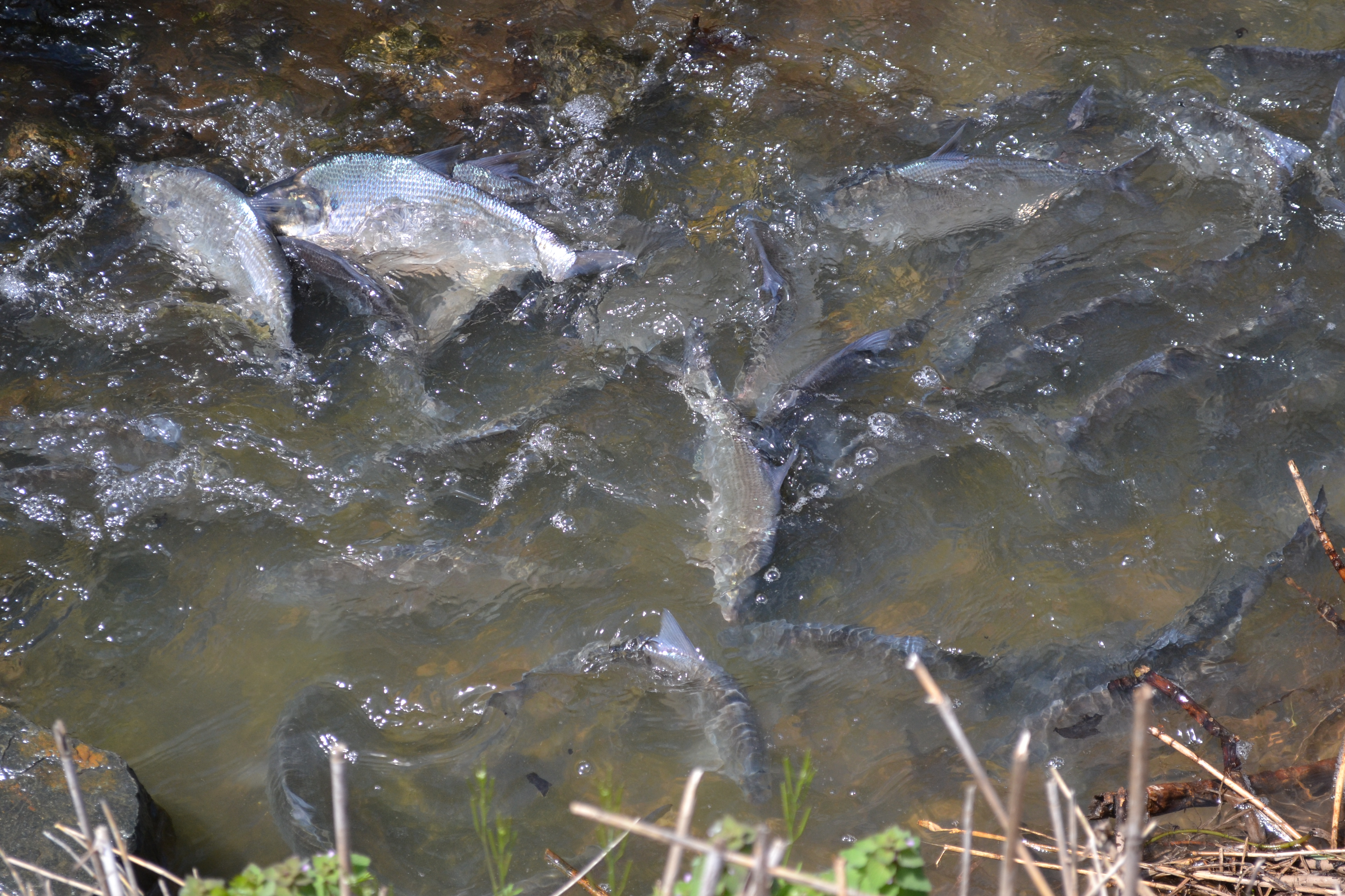 Ocean Pines Md >> 04/23/2015 | Spawning Shad Attract Onlookers Near Ocean Pines Pond | News Ocean City MD