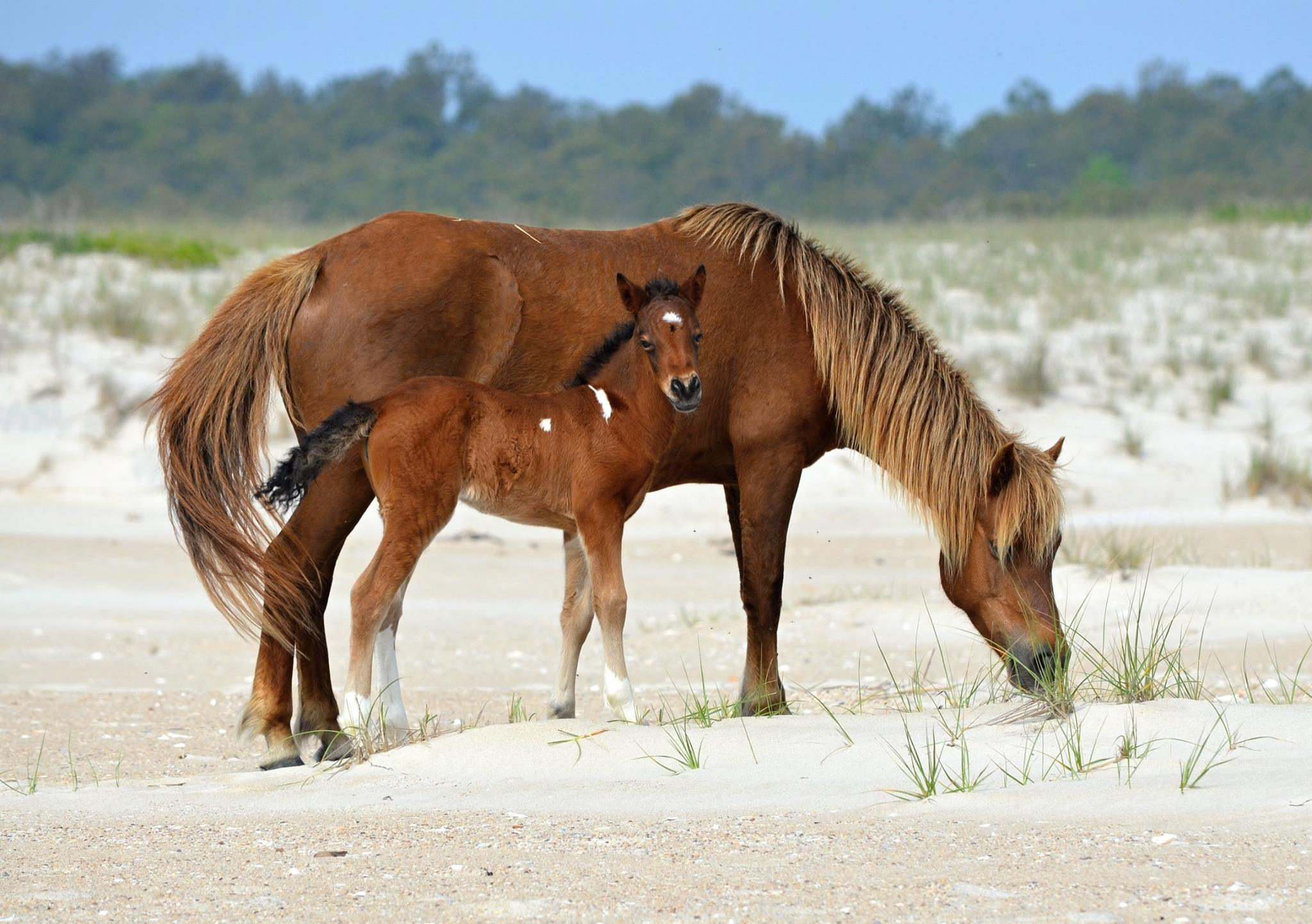 Image result for Assateague, Maryland