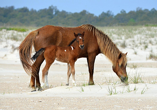 The newest resident of Assateague was born earlier this month to JoJo. Photo courtesy of Assateague Island Alliance