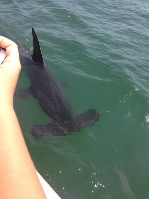 06 25 2015 Hammerhead Shark Appears To Be Injured Or Ill