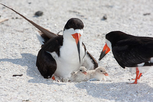 A family of Black Skimmers is pictured on a dry spit in the back bays. Photo by Maryland Coastal Bays Program