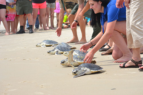 Six turtles are pictured on the beach yesterday at Assateague State Park making their way toward the ocean. Photo by Charlene Sharpe