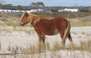 Assateague Horse Named After Young Cancer Victim