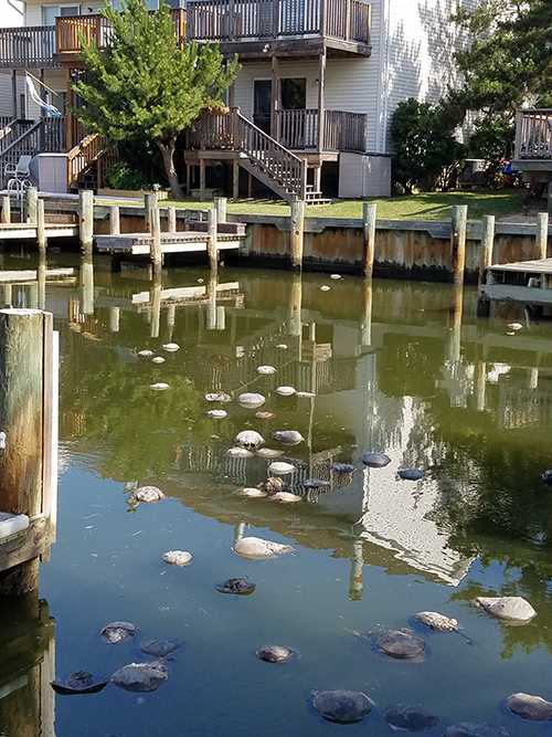 Hundreds of dead horseshoe crabs were found in several Ocean City canals last week. Submitted Photo