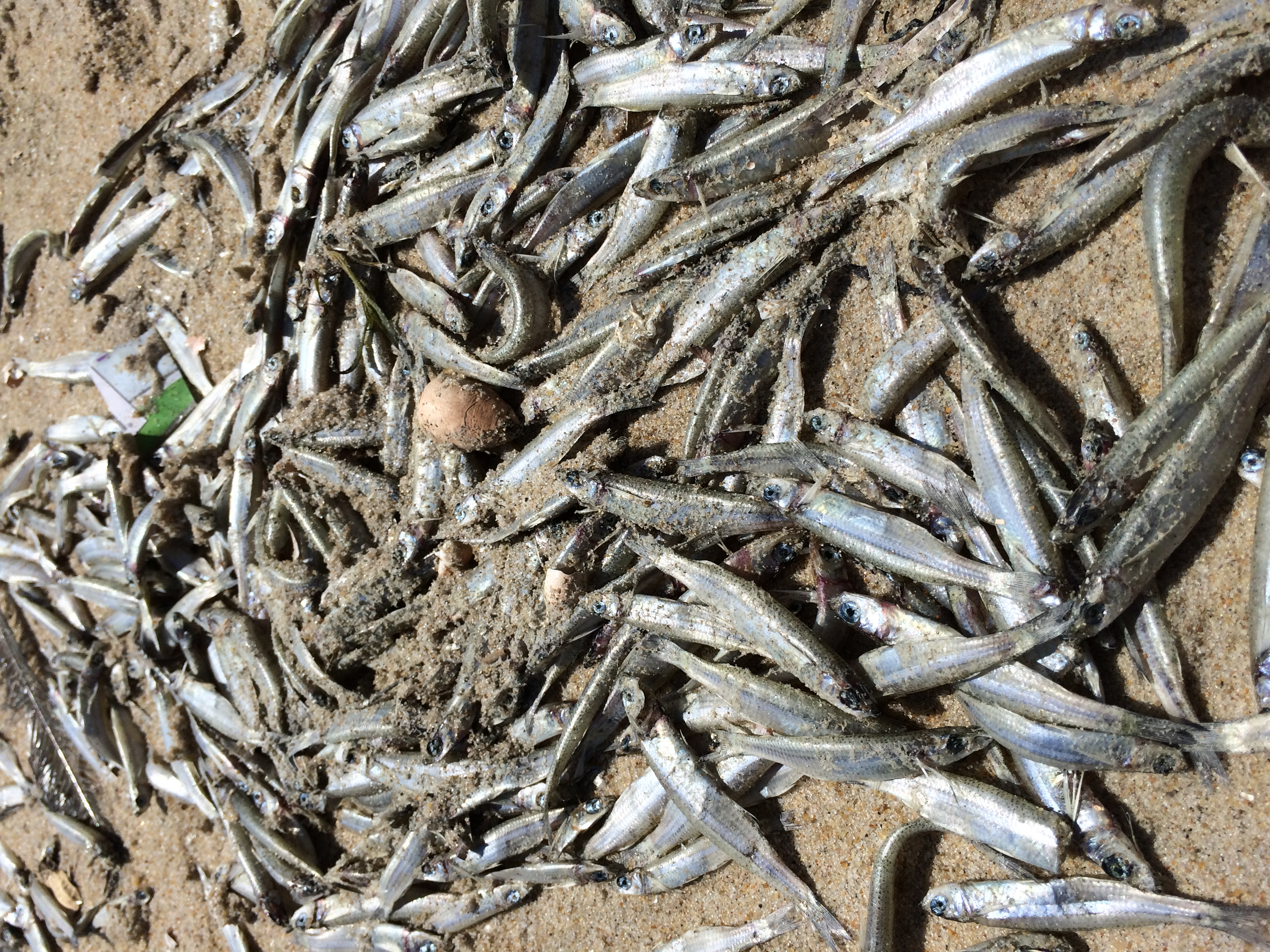 Hundreds of dead fish were seen in several areas of the Ocean City beach last weekend. Above is a look at 21st Street on Saturday. Photo by Steve Green