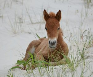 Bidding Opens For Assateague Foals' Naming Rights