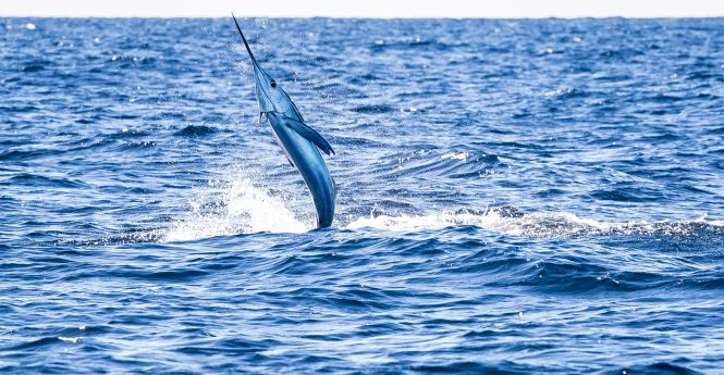 A white marlin is pictured offshore in September. Photo by Nick Denny