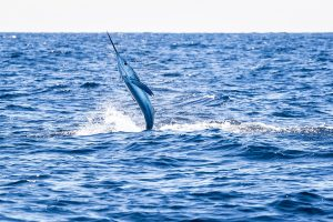 BREAKING: City Council Votes To Restore $5K Prize For Season's 1st White Marlin