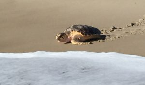 Rehabbed Loggerhead Released From Assateague