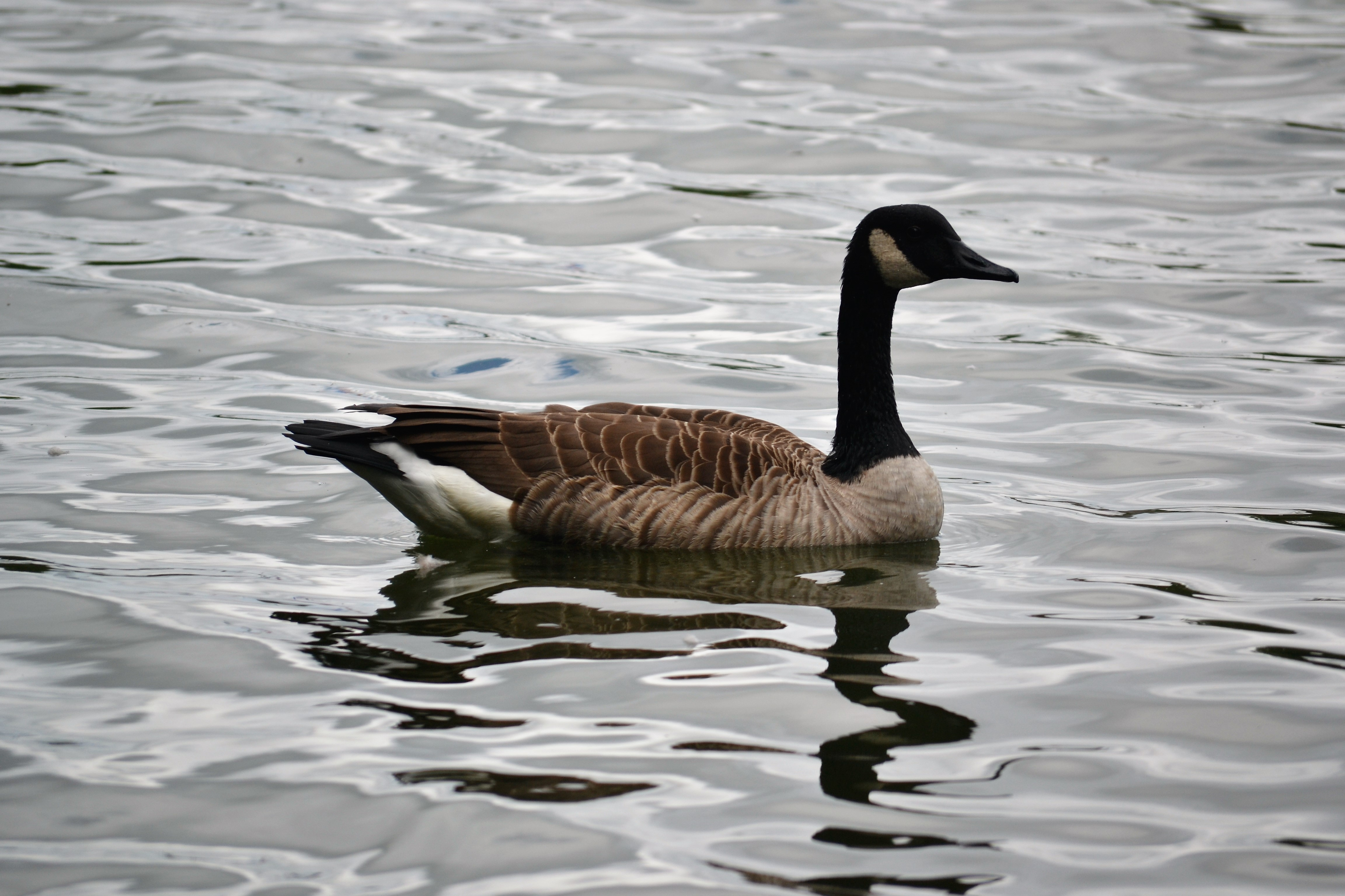 Ocean Pines General Manager Defends Geese Decision