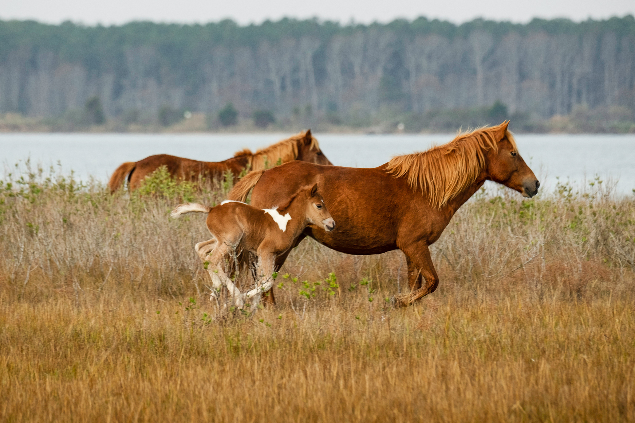 Assateague Census Finds 78 Horses; Year's Fourth Foal Born This Month